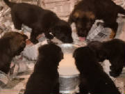puppieslearningtoeat.jpg